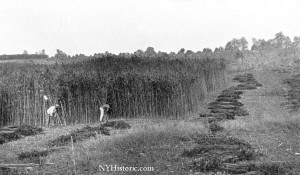 hemp harvest - rope walk (1)